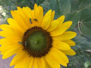 Sunflower and Sweat Bees