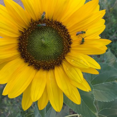 Iridescent green sweat bees on sunflower