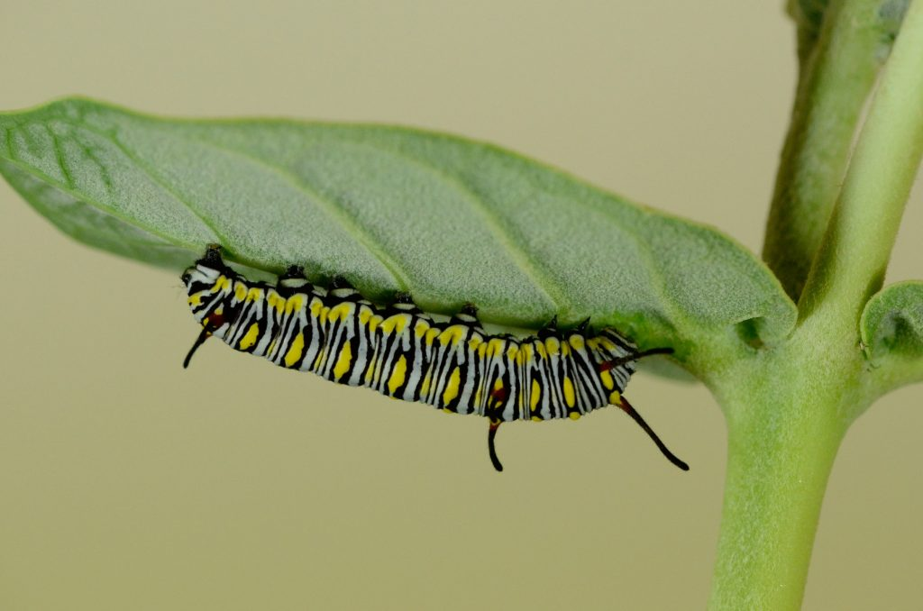 A Monarch butterfly caterpillar on its host milkweed plant.